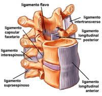 ligamentos intervertebrales