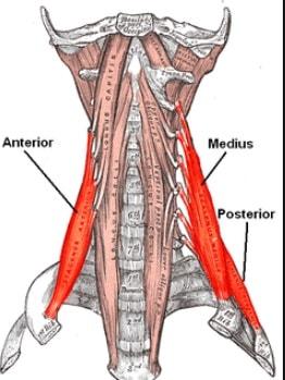 Músculo escaleno medio